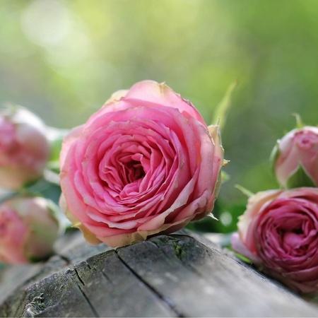 Rózsavizes és rózsás kézkrém, arckrém sampon, tusfürdő